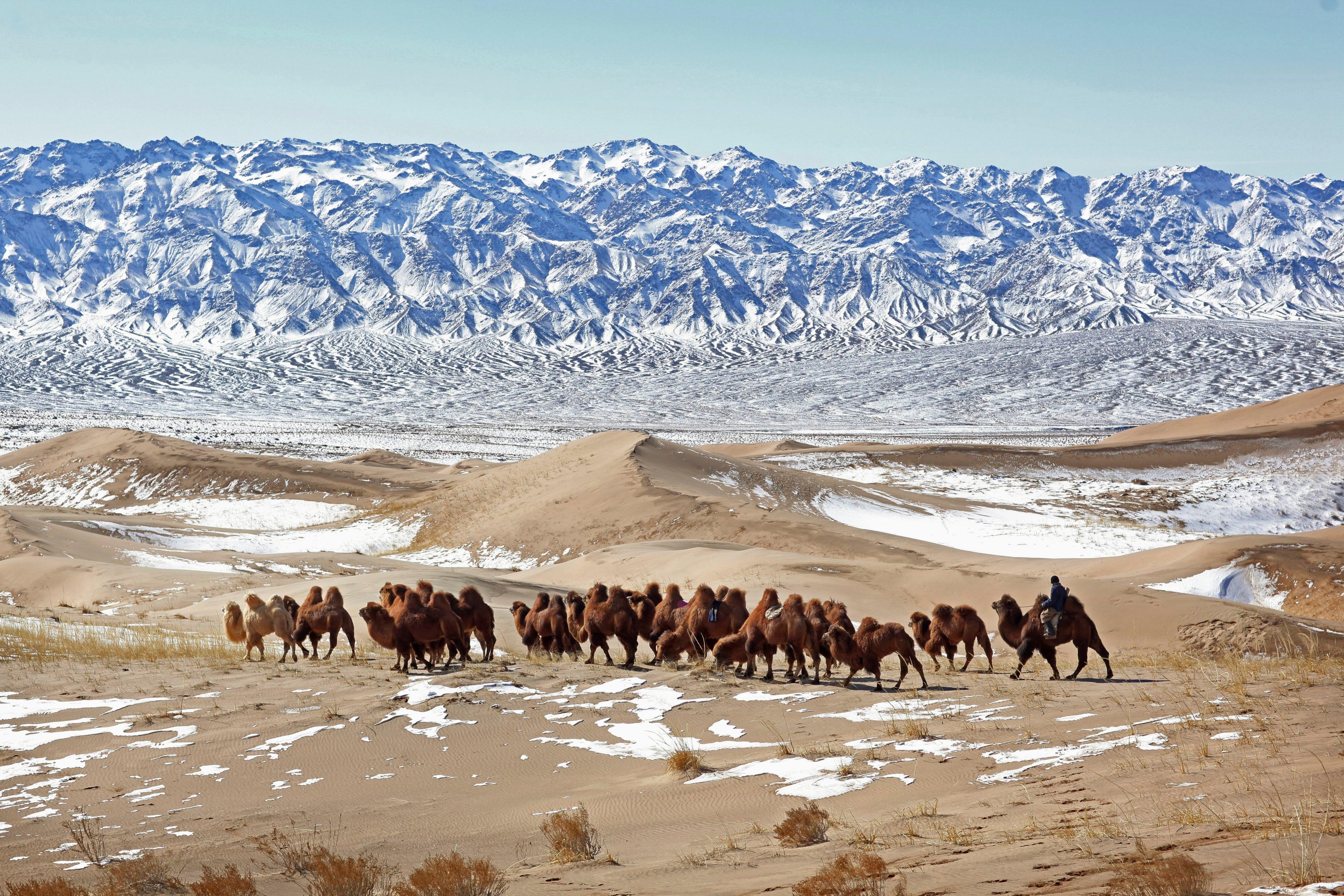 Nomad corrals caravan of camels across Gobi Desert