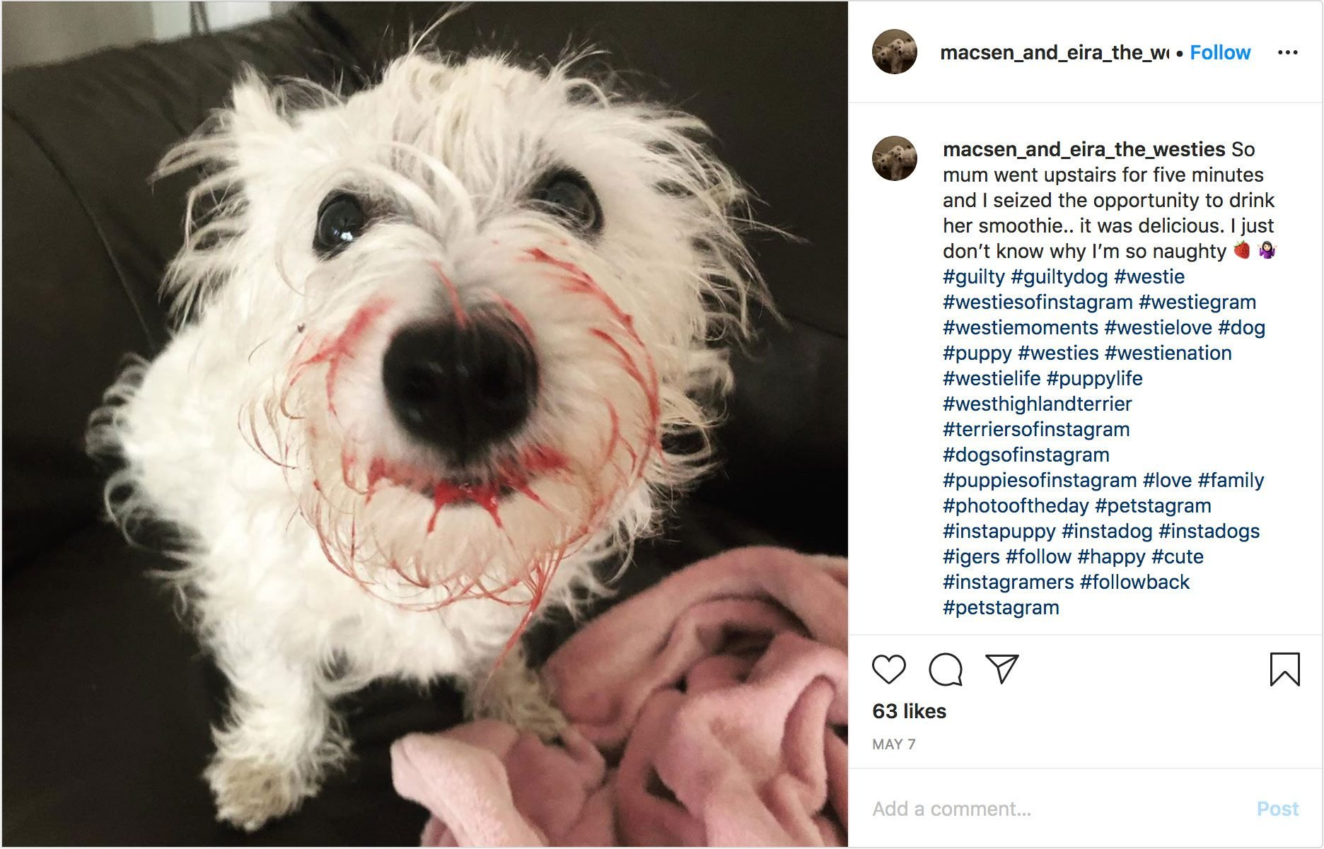 macsen_and_eira_the_westies instagram. guilty dog.