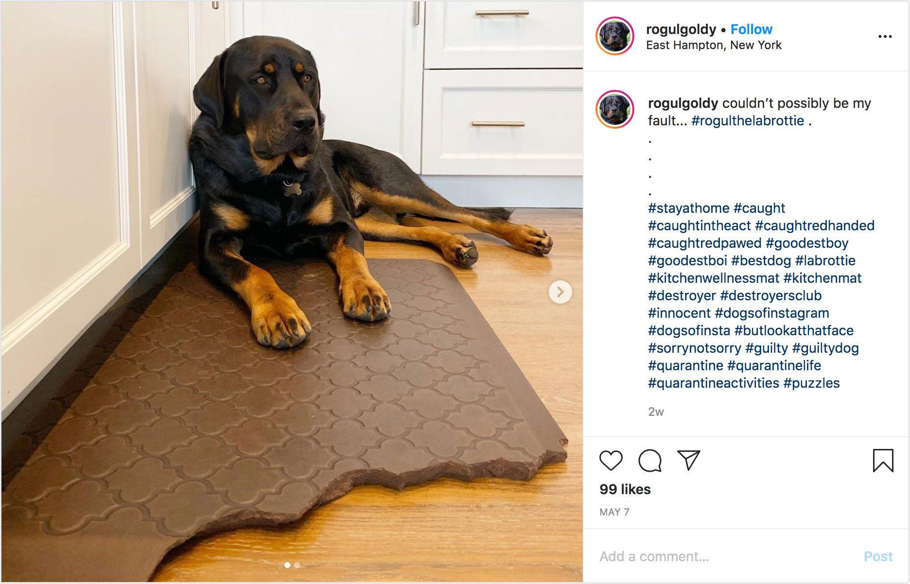 rogulgoldy instagram. guilty dog.