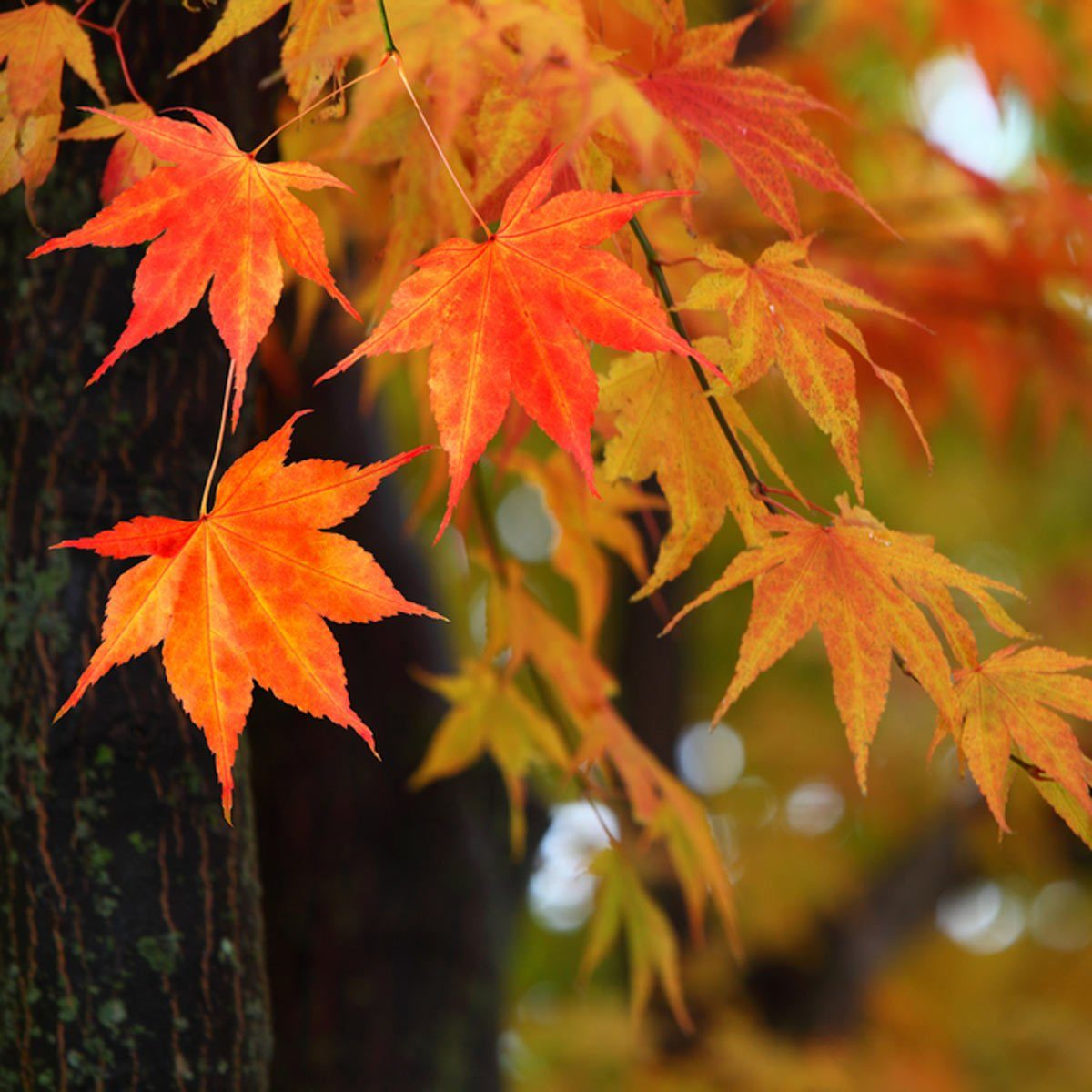 shutterstock_50008510 Japanese maple tree fall foliage leaves