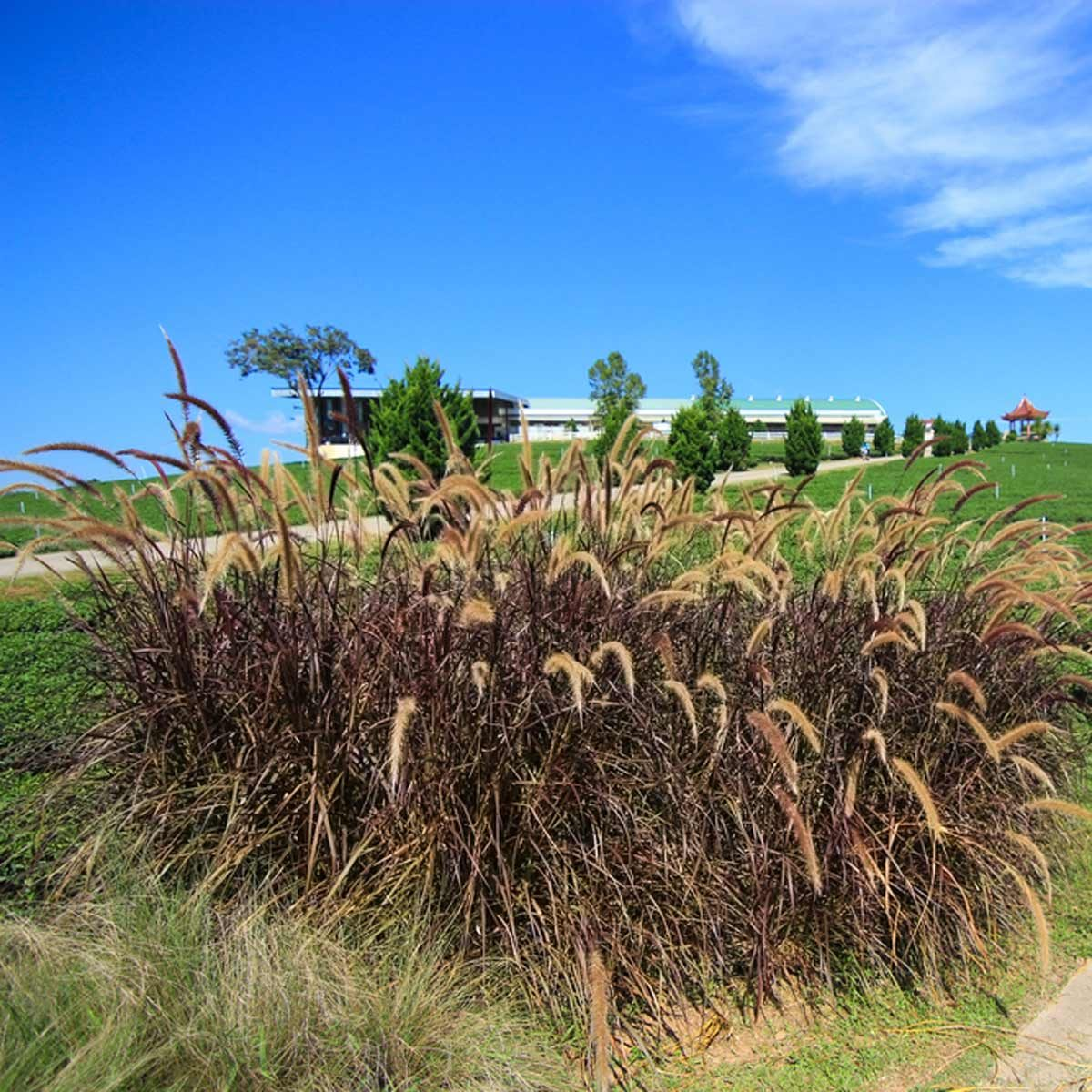 shutterstock_542142598 Purple Fountain Grass
