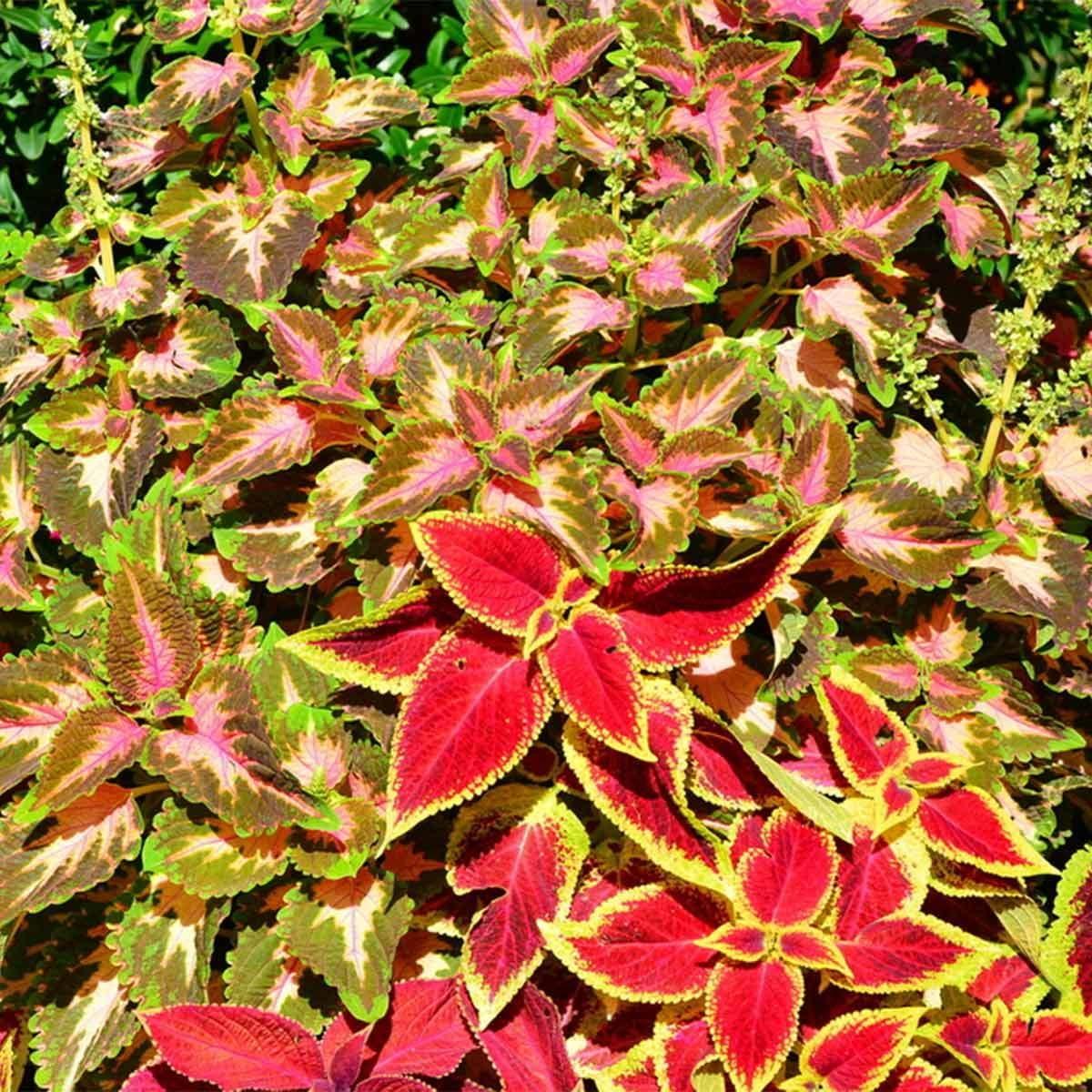 Coleus Shade Garden Plants