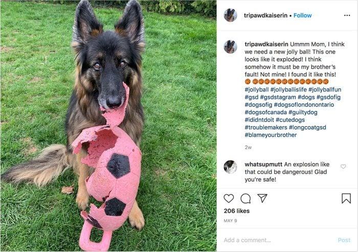 tripawdkaiserin instagram. guilty dog.