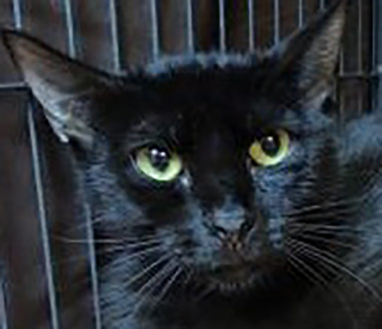 SPCA Florida aurora cat