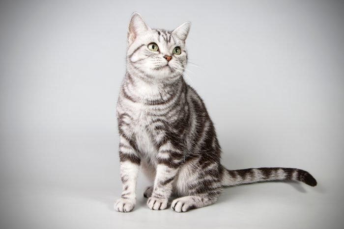 American shorthair cat on colored backgrounds