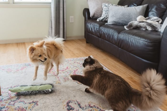 Cat And Dog Playing On Carpet At Home