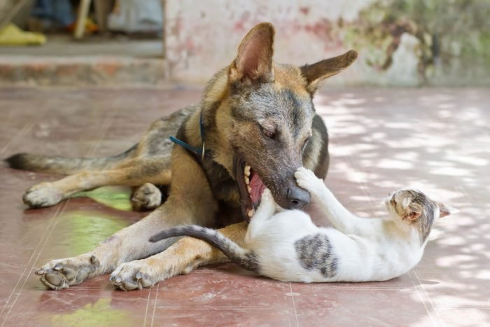 Big dog and kitten playing with each other