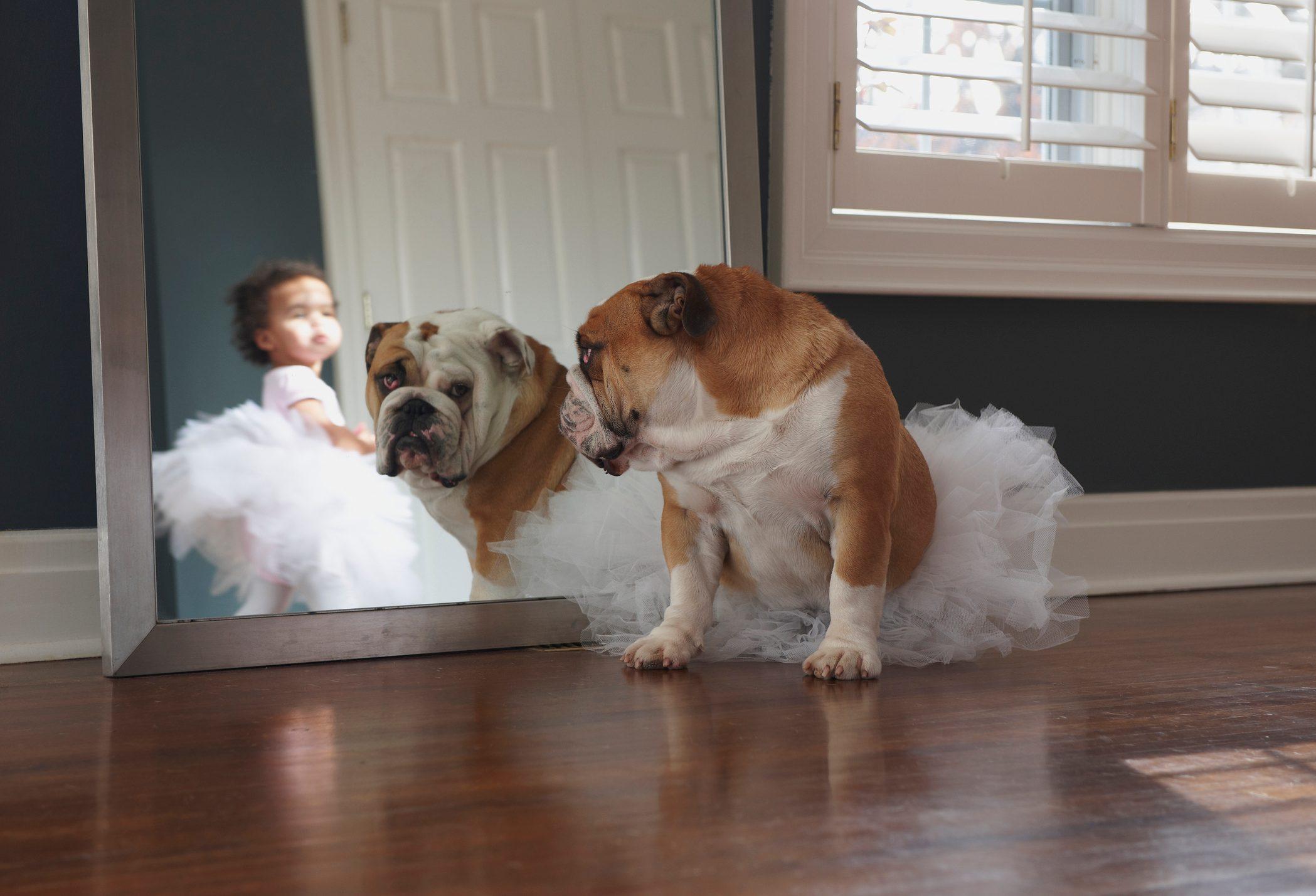 Bulldog Wearing Tutu, Looking In Mirror