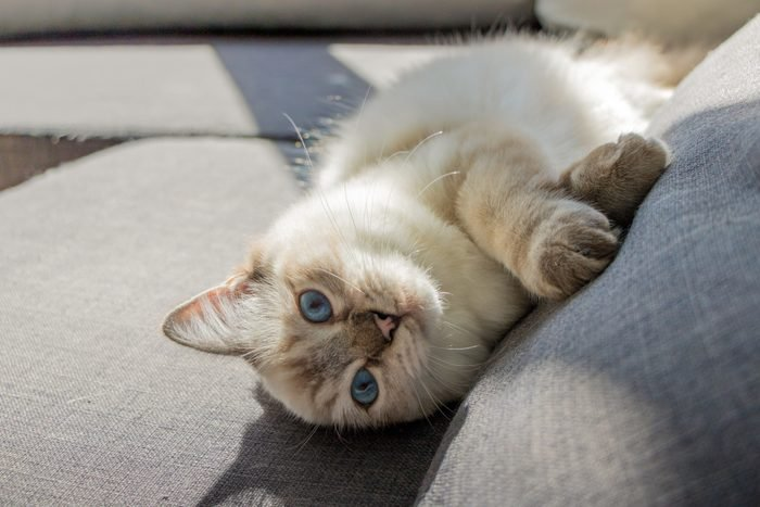 Seal Lynx Ragdoll Cat Laying In Couch