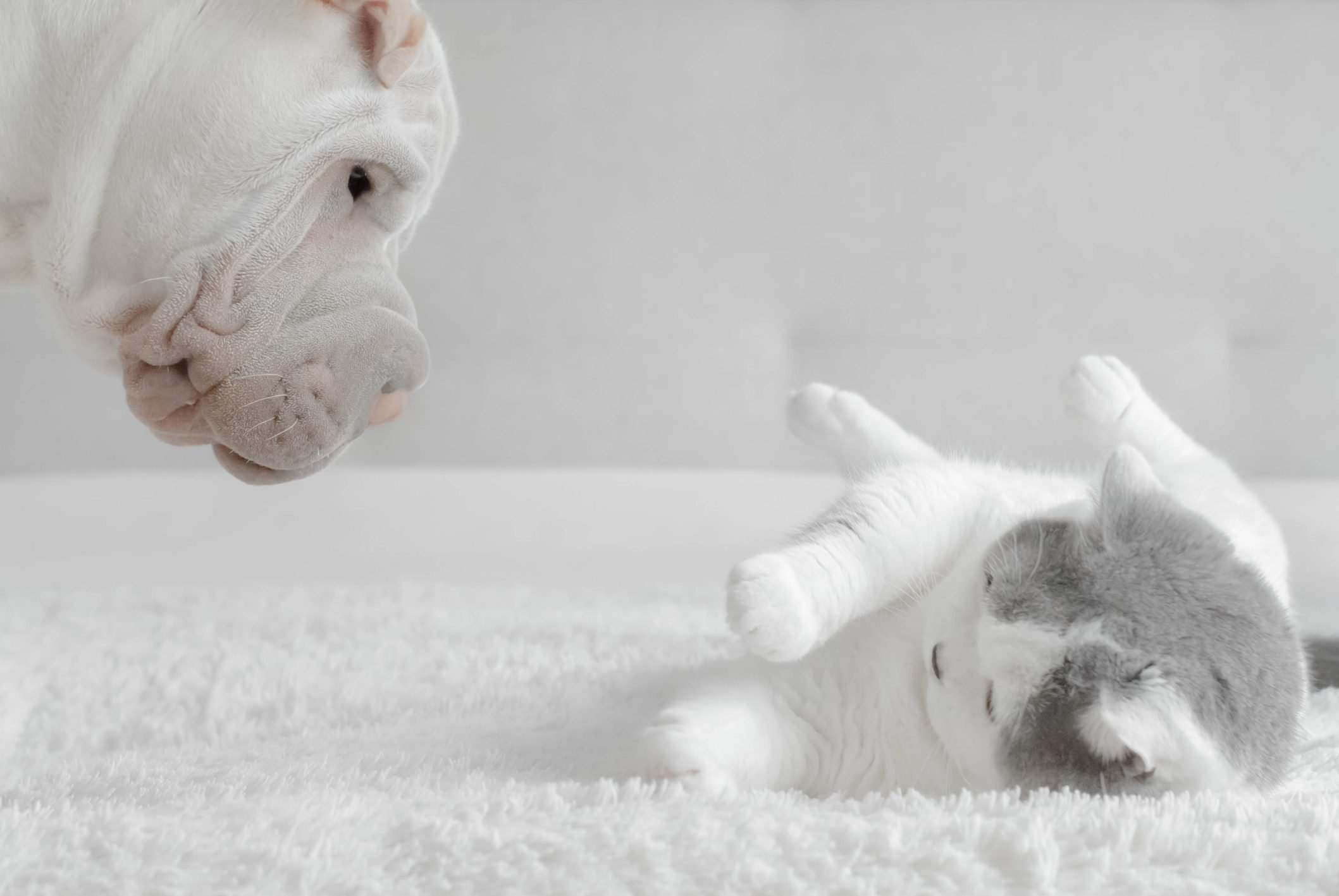 Shar-pei puppy playing with a British shorthair cat