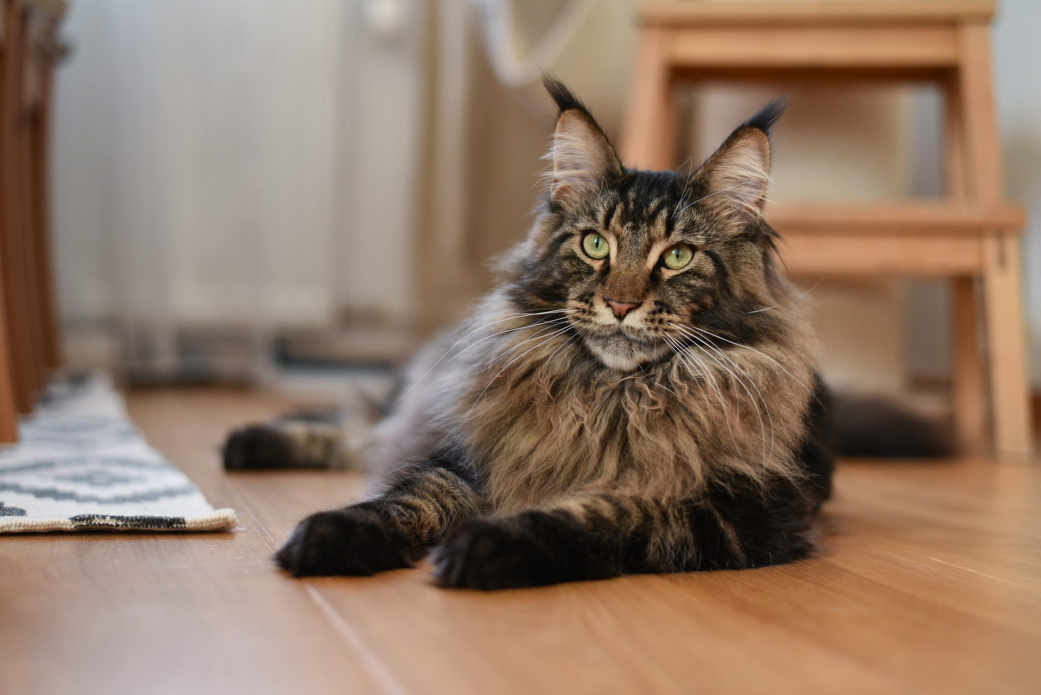 Maine coon cat (MCO)
