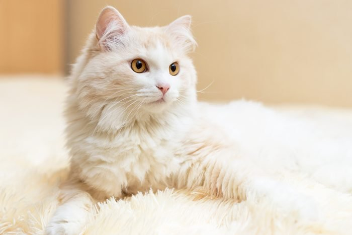 portrait of a white turkish angora cat