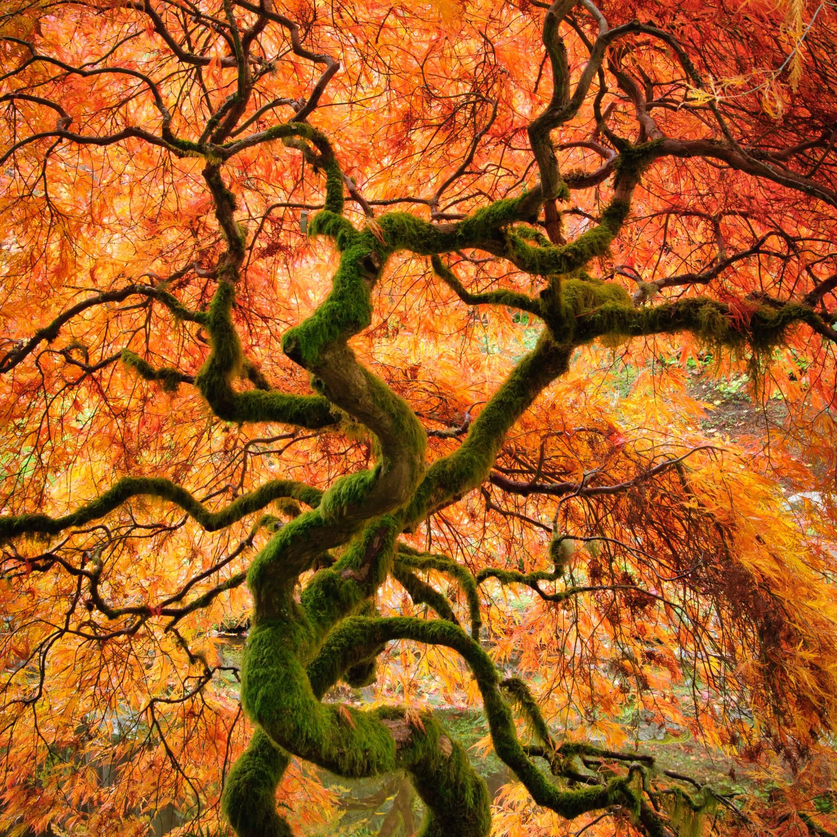 Laceleaf maple tree with fall color in the Japanese Garden at Bloedel Reserve