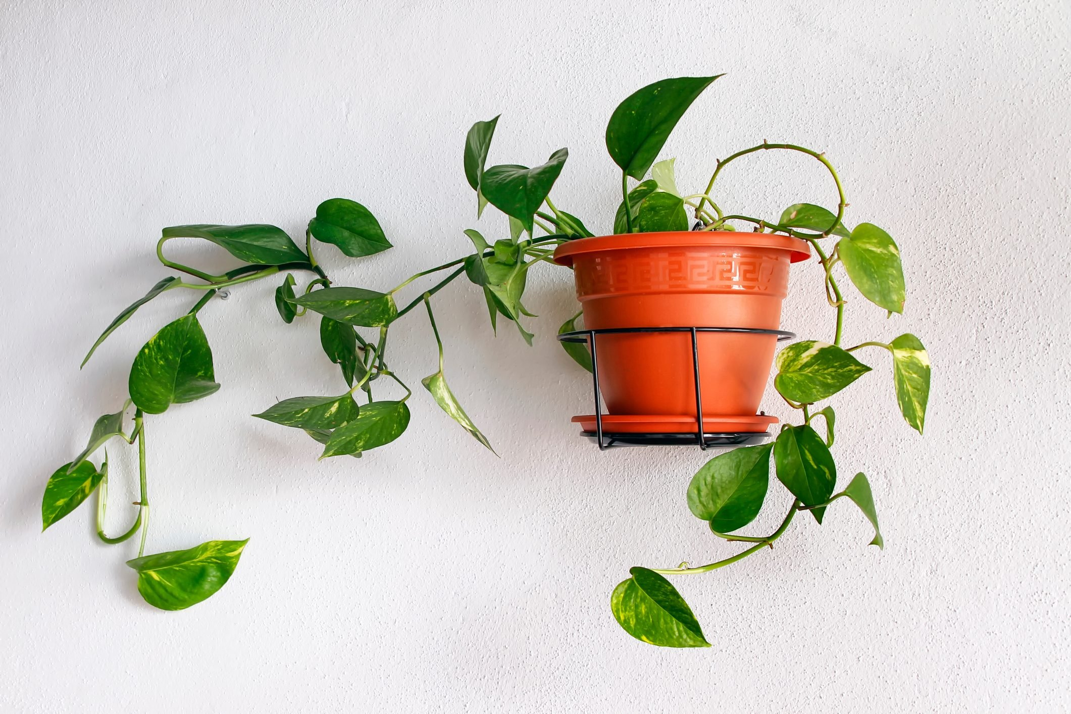 potted plant hanging on a white wall
