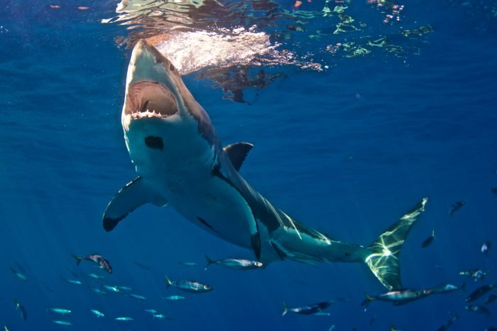 Great White Shark with huge mouth open, Guadalupe, Mexico
