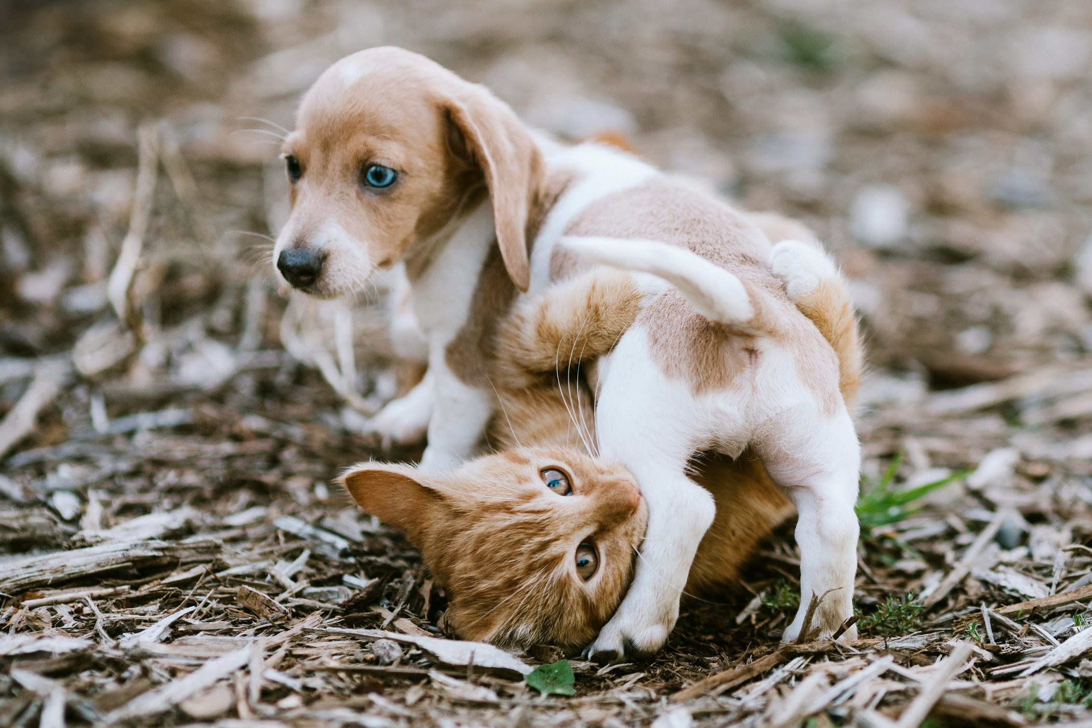A Kitten and Dachshund Puppy Wrestle Outside