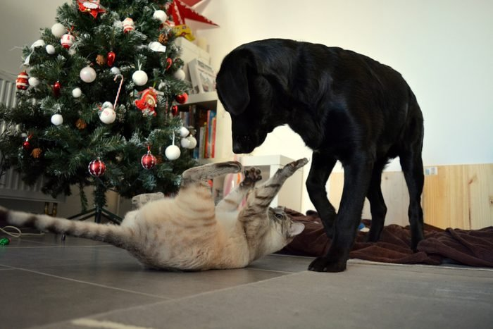 Cat Playing With Dog On Floor During Christmas