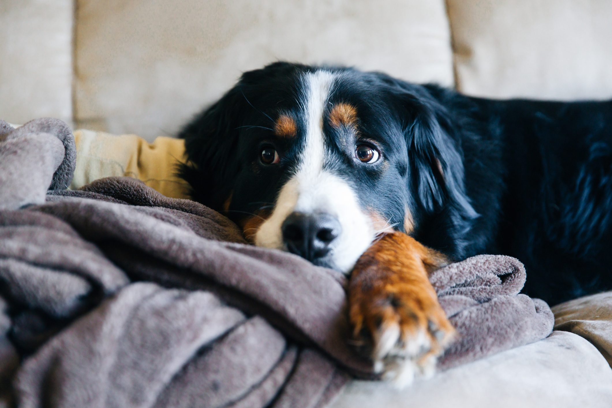 Bernese Mountain Dog, Cute Dog, Family Pet, Family Dog, Dog on Couch