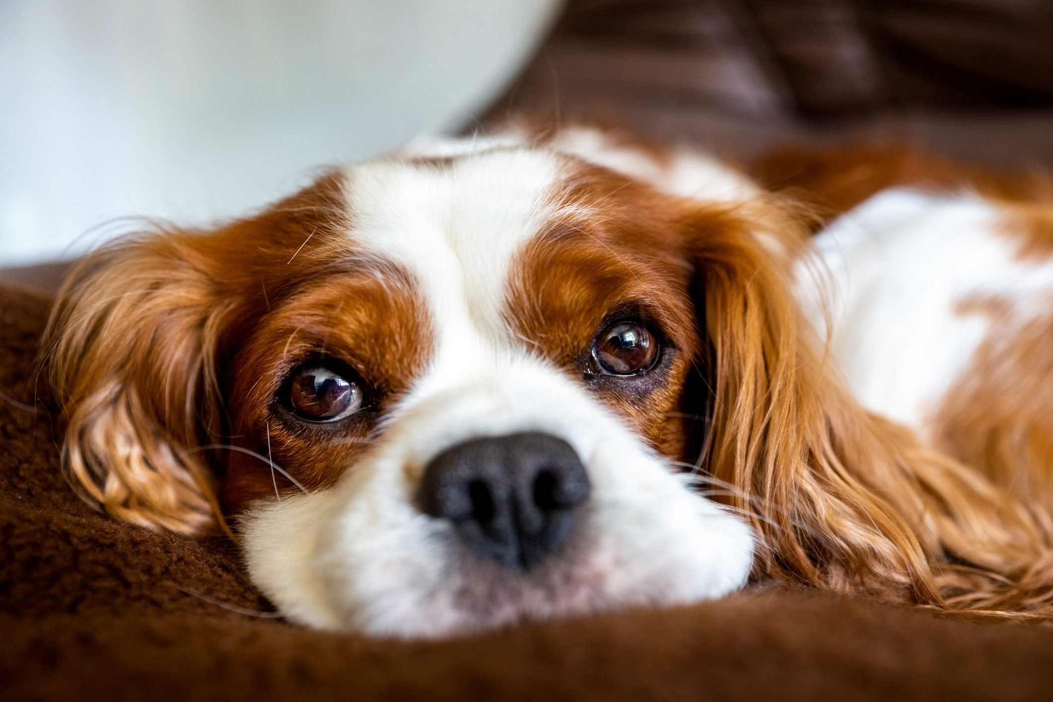 Close-Up Portrait Of Dog Lying On Bed