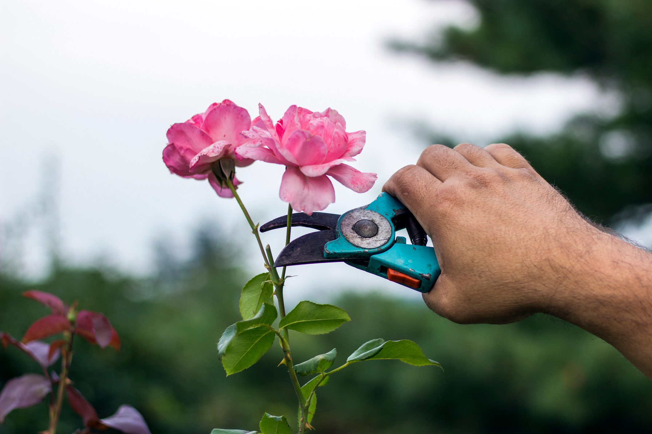 Close-Up Of Hand Cutting Rose Plant With Pruning Shears Outdoors