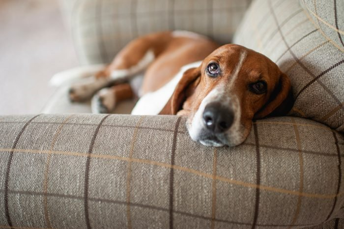 Basset hound dog relaxing in large plaid chair at home