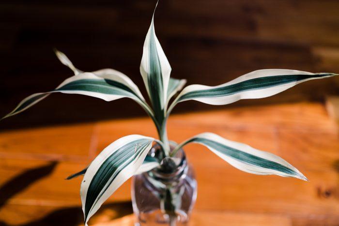Striped Dracaena 'White Jewel' Plant