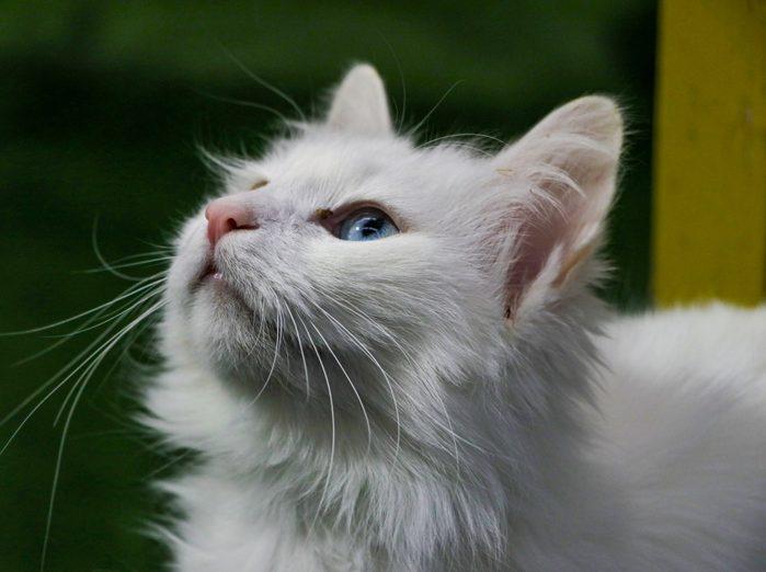 Cat breed Turkish Van (Vankedisi) or Turkish Angora