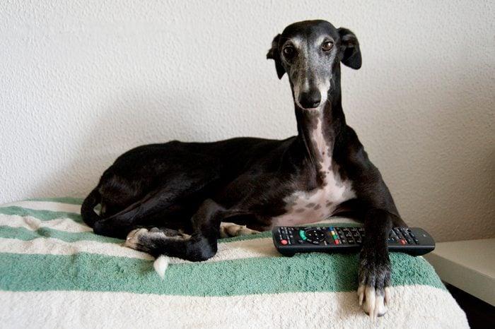 Black greyhound waching tv