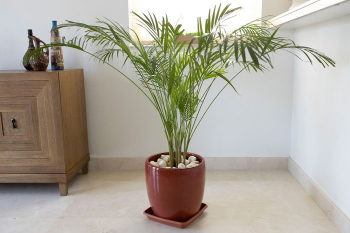 Bamboo Palm Growing in a Pot - Decorative Indoor Plant