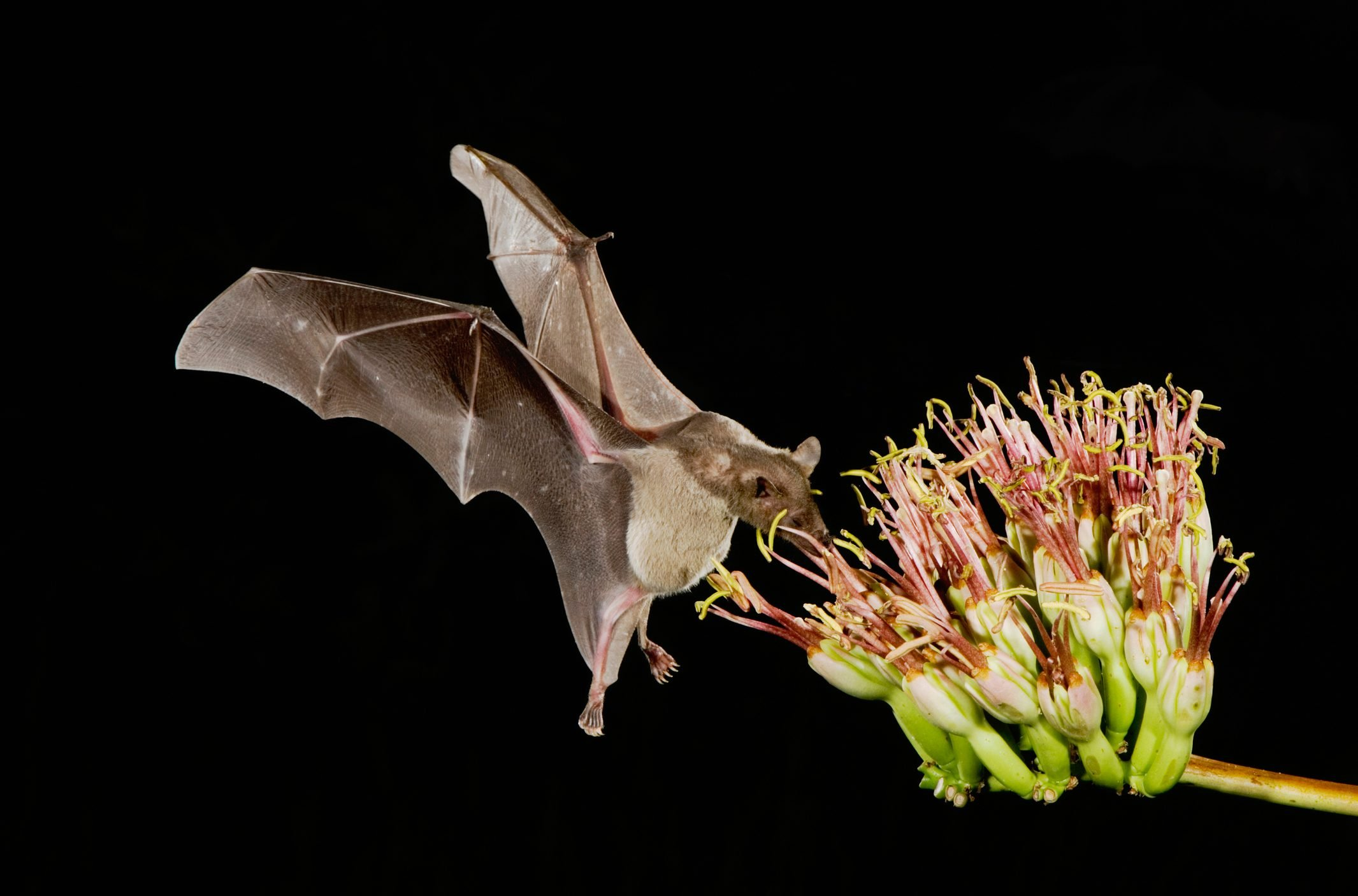 Lesser Long-nosed Bat (Leptonycteris curasoae), adult in flight at night feeding on Agave blossom (Agave sp.), Tucson, Sonoran desert, Arizona, USA