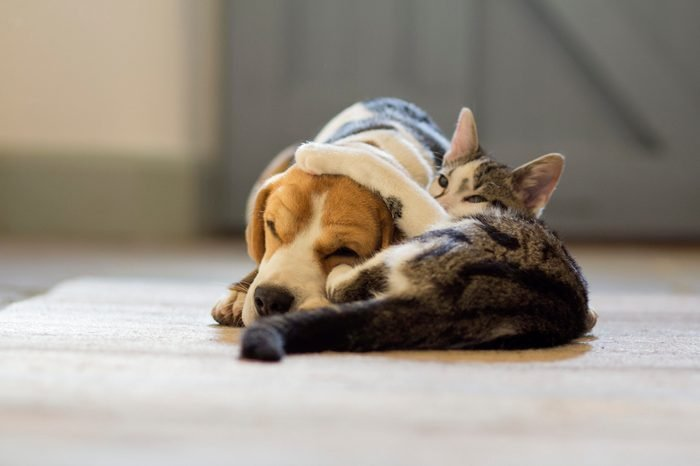 Beagle dog and moggie cat having a cuddle