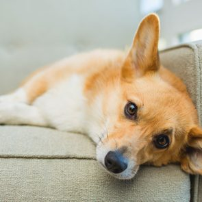 corgi laying on the couch