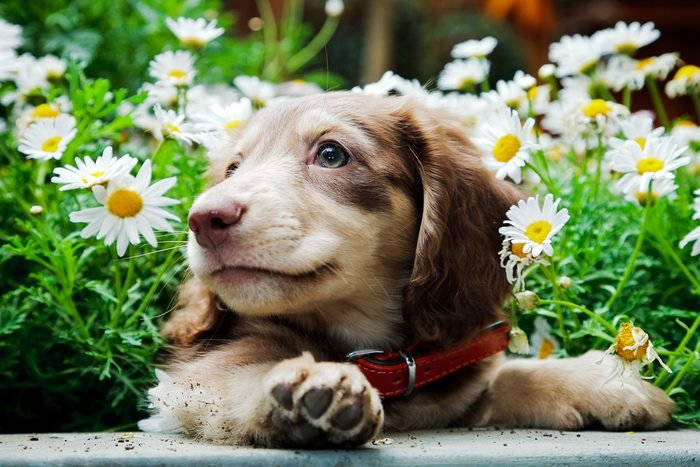 Dachshund puppy peeking out of flowers