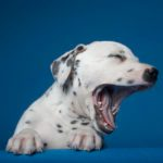 Why Do Dogs Yawn So Much?