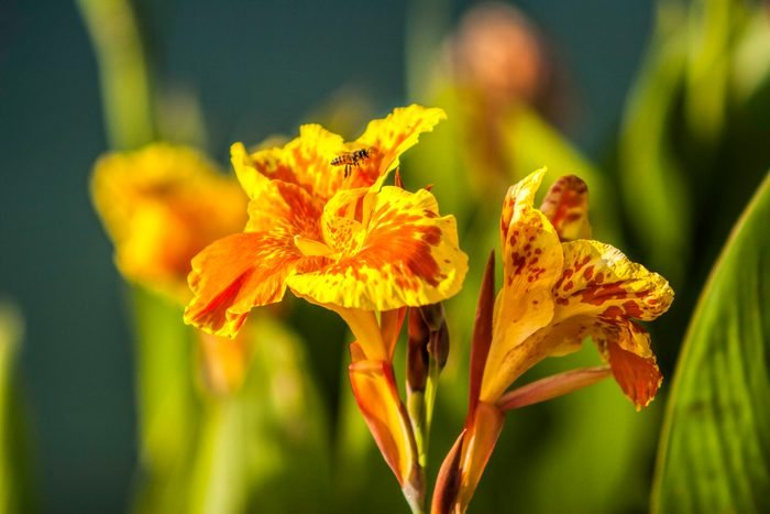 Canna Flower With Bee