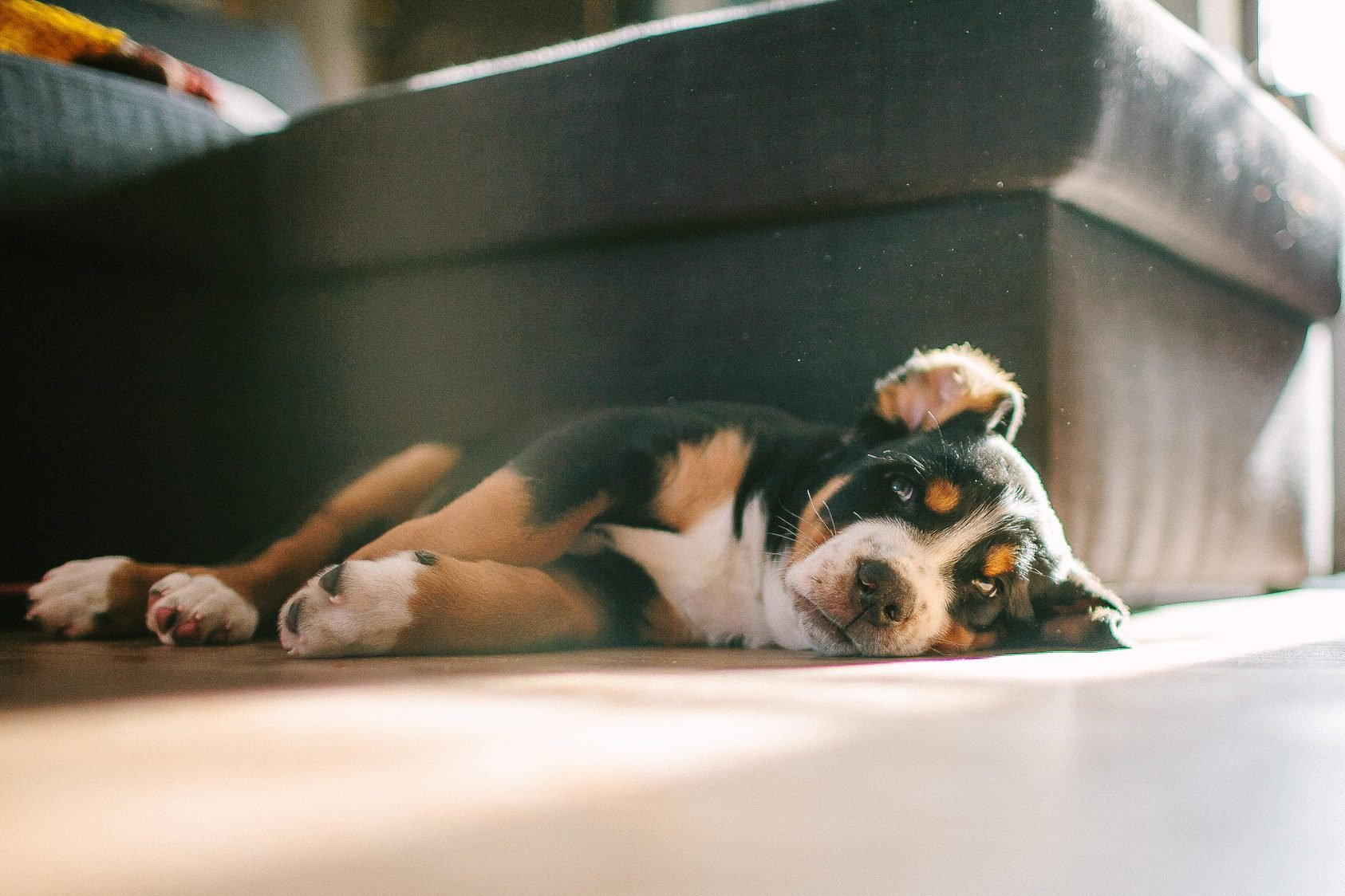 Greater mountain swiss dog puppies laying on the floor