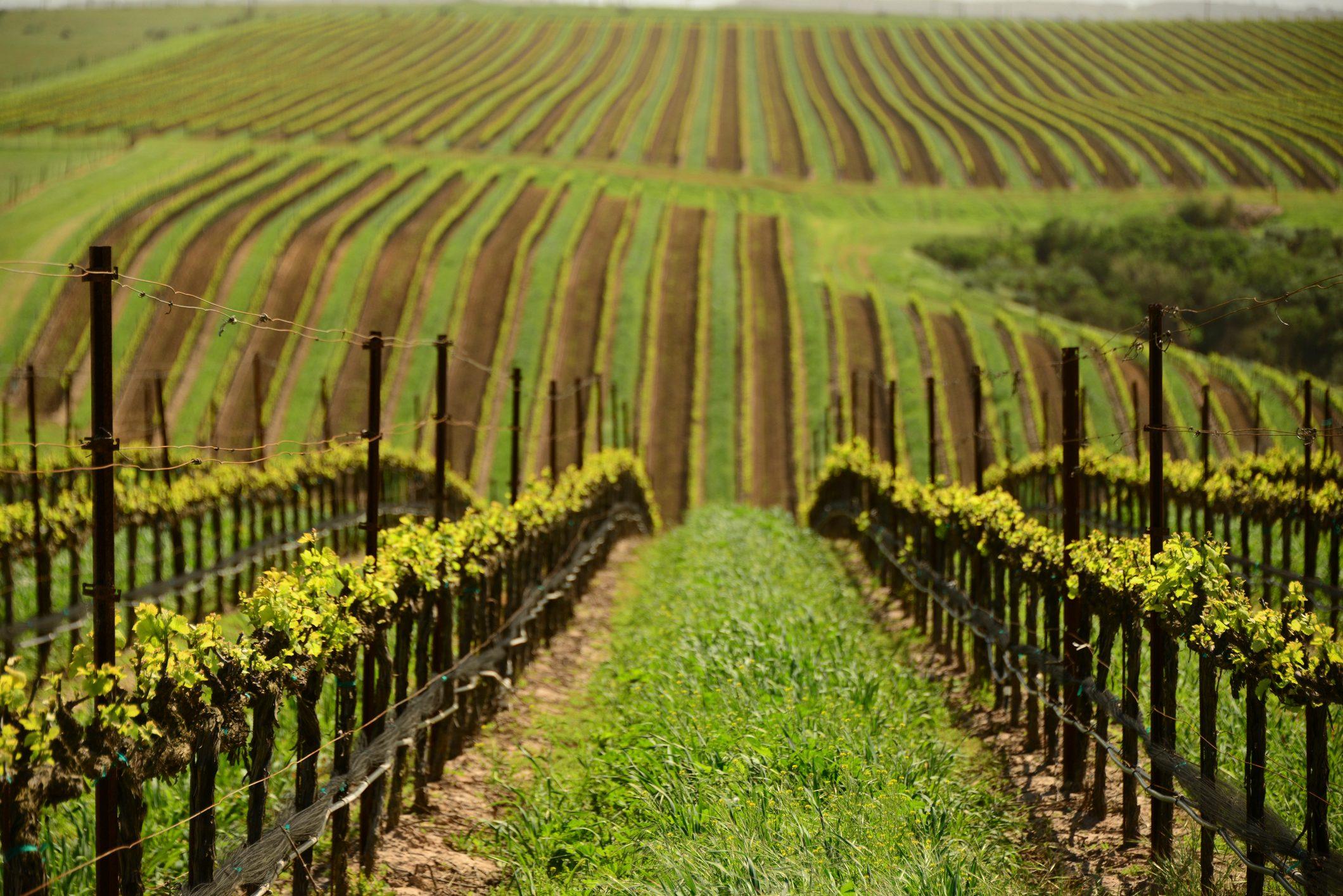 geometric pattern of spring time vines in vineyard at winery near Santa Maria in Santa Barbara County, California, USA