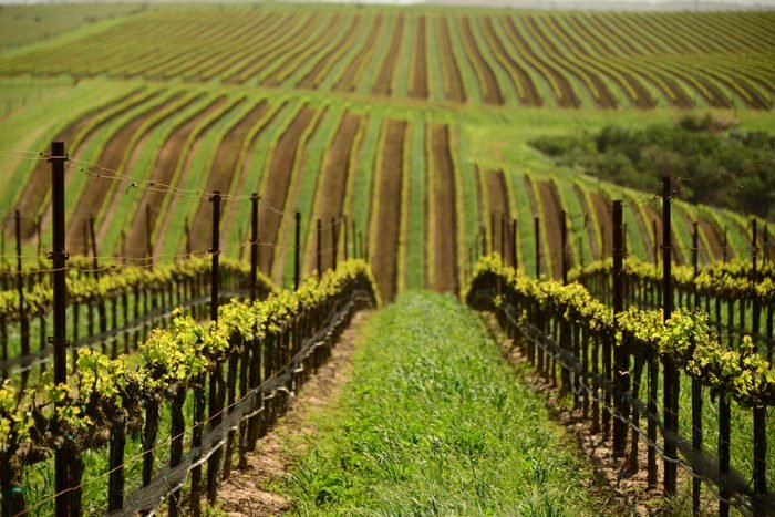 geometric pattern of spring time vines in vineyard at winery near Santa Maria in Santa Barbara County, California, USA