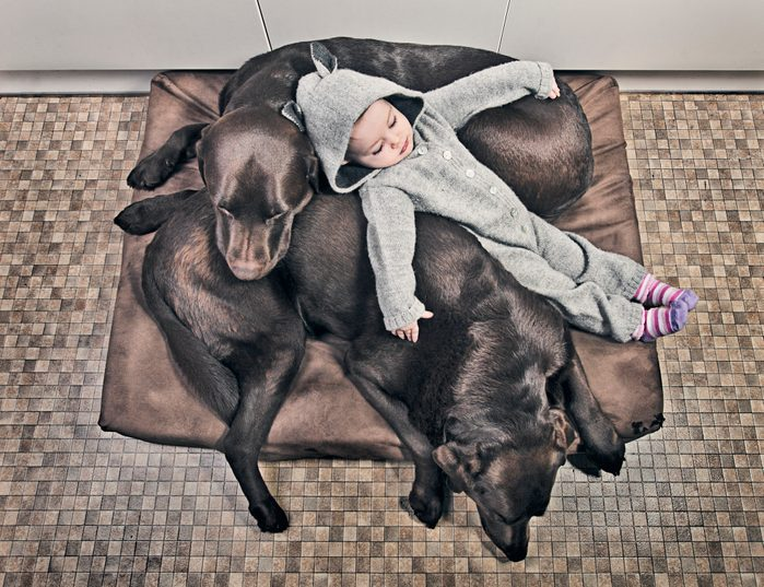 Baby Girl in Wolf Suit asleep with Two Chocolate Labradors