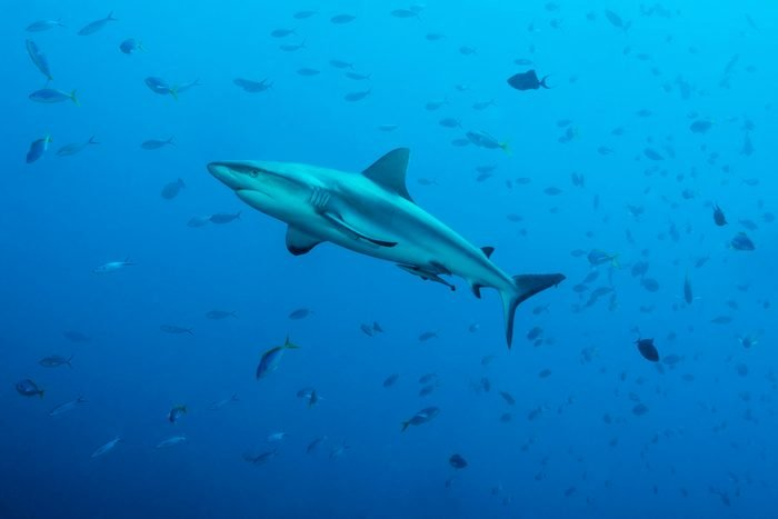 Grey reef sharks, Blue Corner - Palau