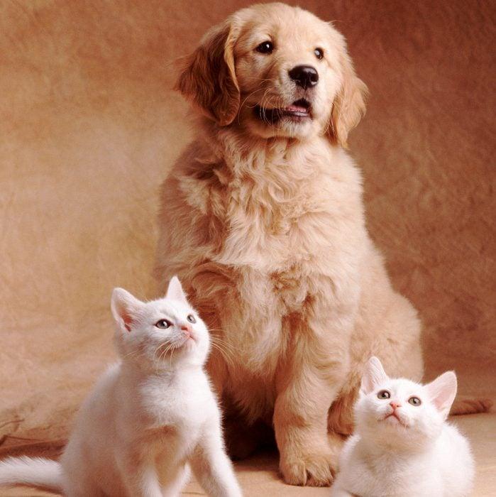 Golden Retriever Puppy Posing with Kittens