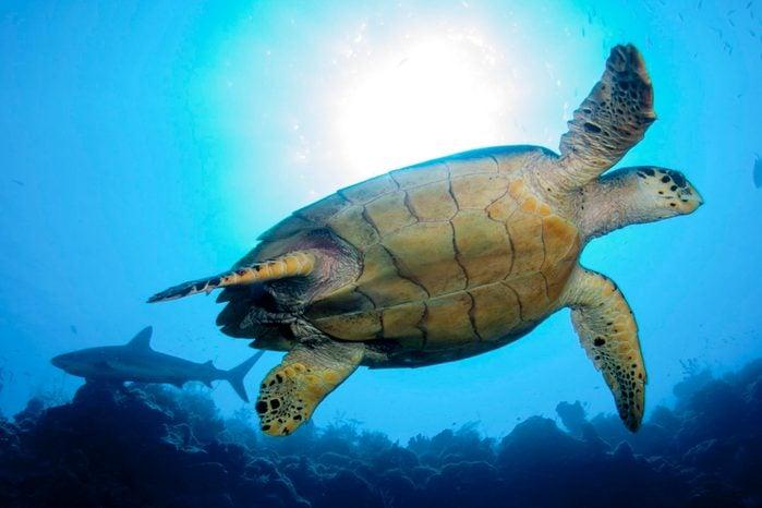 Green sea turtle and reef shark