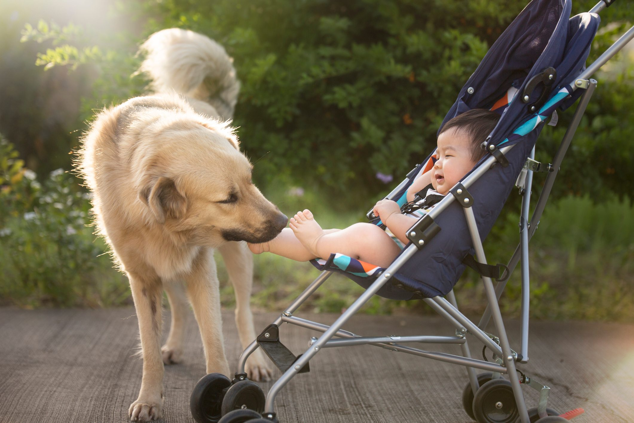Asian toddler boy tickled by a dog in baby stroller.