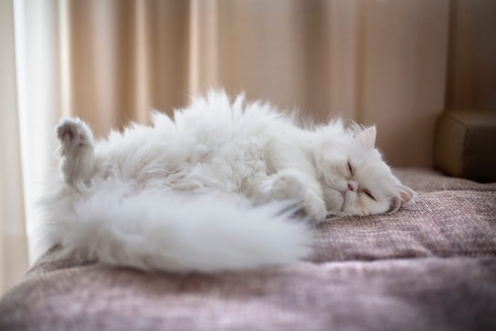 White Persian Cat lying on back