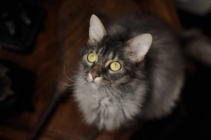 Grey LaPerm cat with green eyes looking up