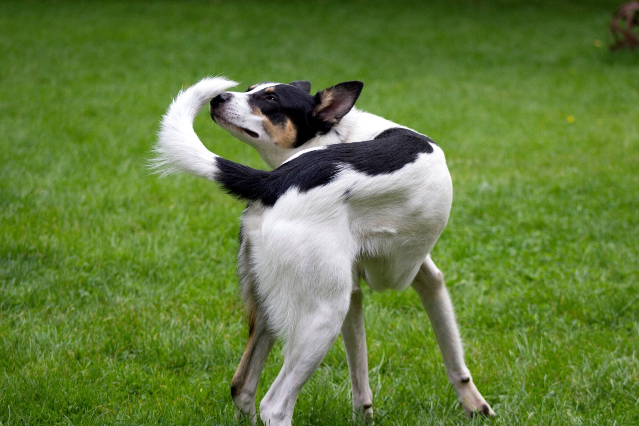 Dog Smelling Tail On Grassy Field