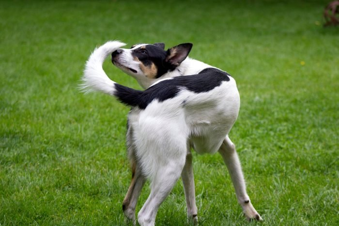 Dog Smelling Tail On Grassy Field