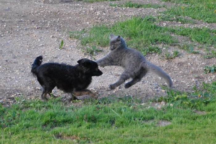 Black Dog And Gray Cat On Field