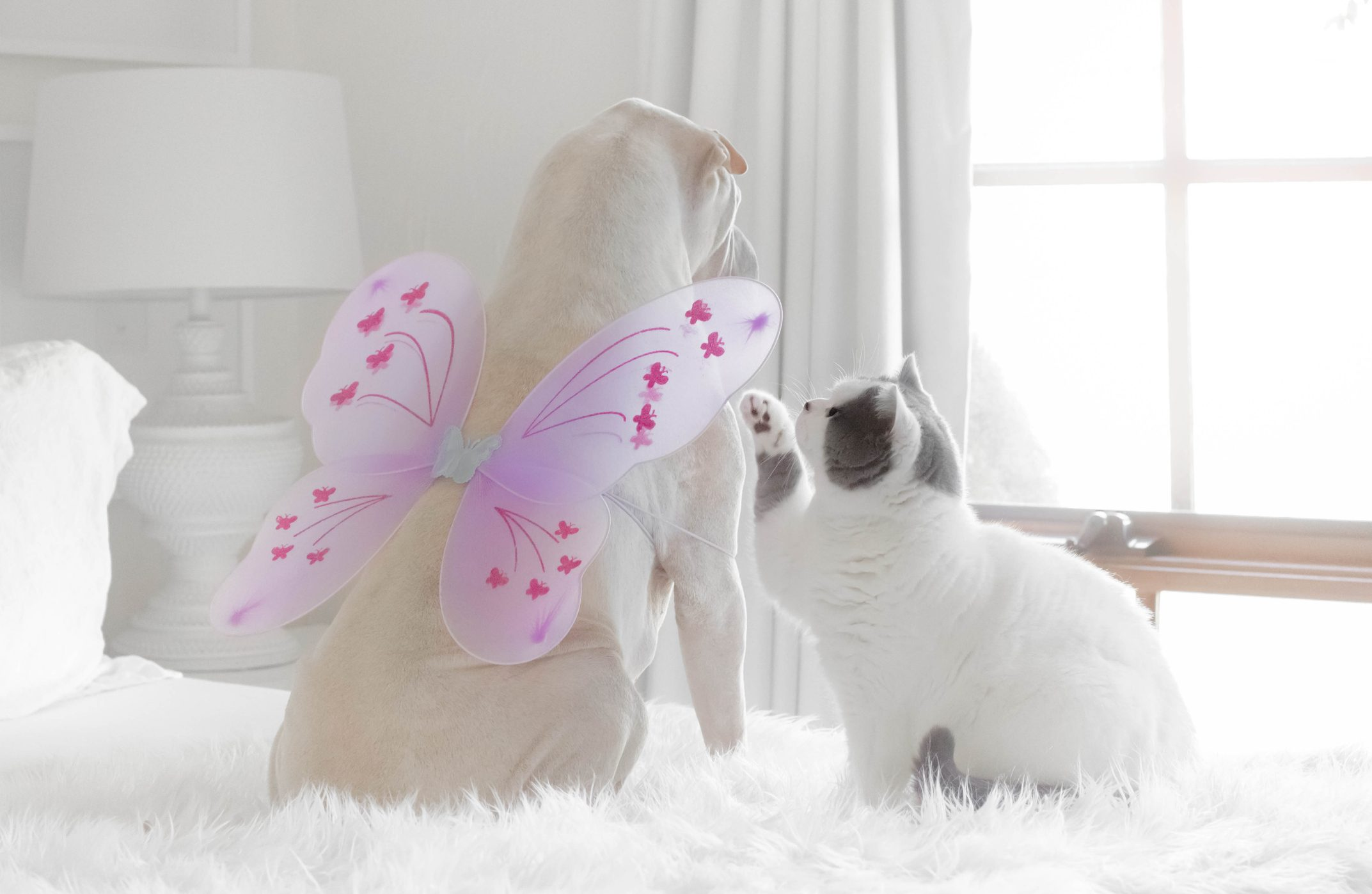 shar-pei dog wearing butterfly wings playing with a British shorthair cat