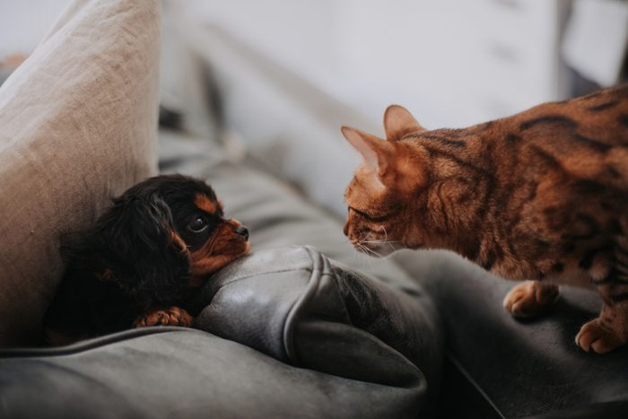 Cavalier King Charles Spaniel puppy hiding from Bengal cat